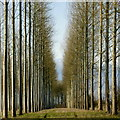 SO6142 : Poplar plantation, Yarkhill, 3 by Jonathan Billinger