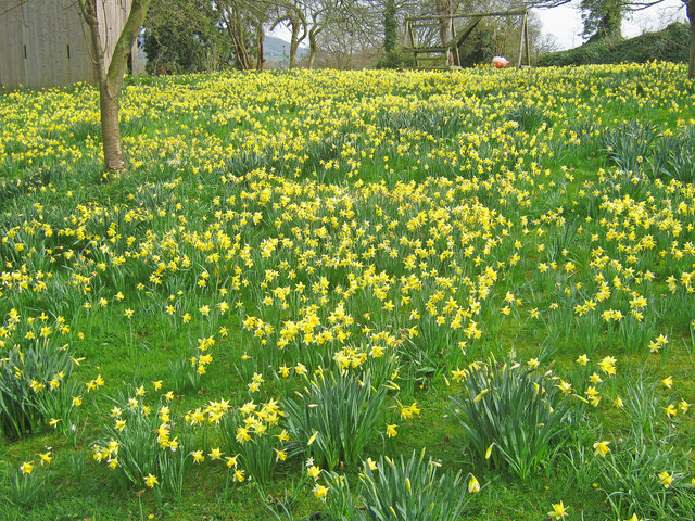 Daffodils at Old Colwall House