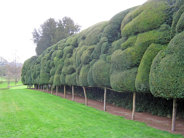 Cloud-pruned Yew at Old Colwall House