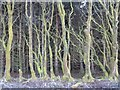 NT7108 : Old beech hedge by Richard Webb