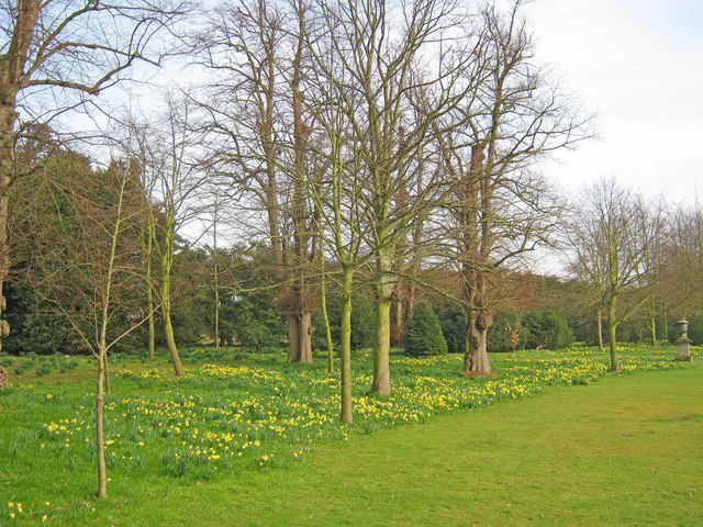 Daffodils at Belton House Gardens