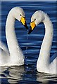 NY0565 : Whooper swans (Cygnus cygnus) at Caerlaverock Wetland Centre : Week 52
