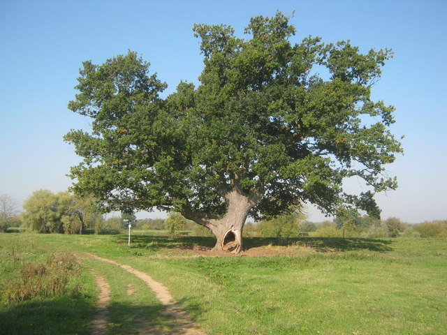 Holey Oak - 2