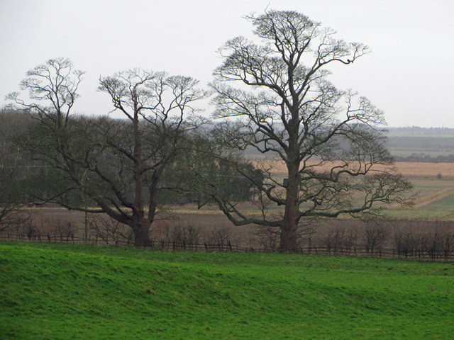 Hedgerow Trees near Horkstow