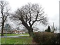 SJ3673 : Regrown old tree, Capenhurst Lane, Capenhurst by Christine Johnstone