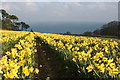 SW7828 : A field of daffodils at Chenhalls by Rod Allday