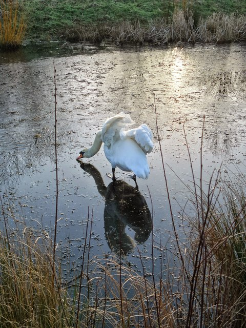 Swan on frozen pond