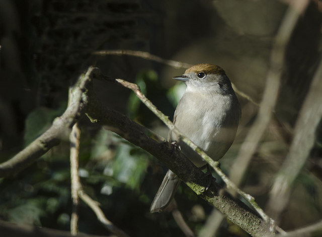 Female Blackcap - Llantwit Major