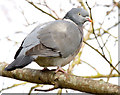 J4774 : Wood pigeon, Kiltonga, Newtownards (February 2015) by Albert Bridge