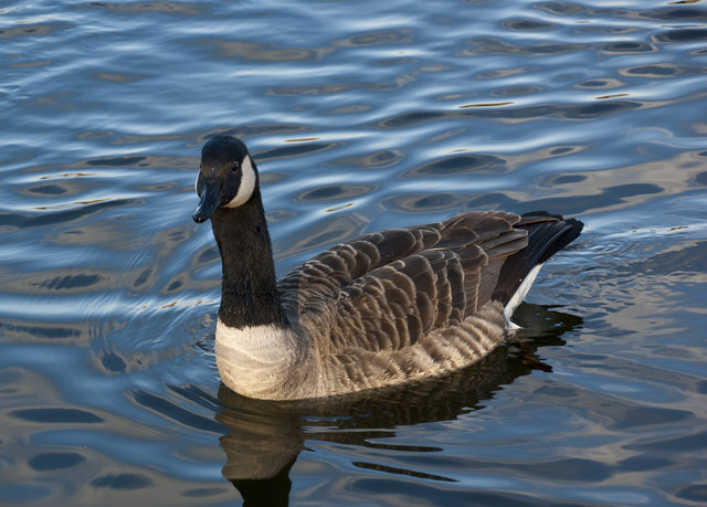 Forex trading canada goose