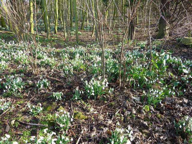 Snowdrops At National Trust Property Near Bath
