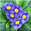 ST7564 : Blue primroses : Week 5