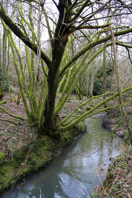 Moss covered streamside trees, Park Wood