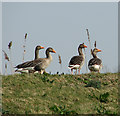 TG3604 : Greylag geese by Evelyn Simak