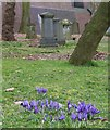 SP0588 : Crocuses in Key Hill Cemetery by Rob Farrow