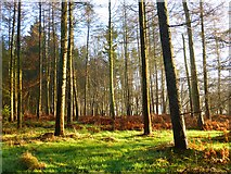 SP8302 : Woodland, Great Hampden by Andrew Smith