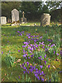 SD2888 : Graveyard crocuses, Blawith by Karl and Ali