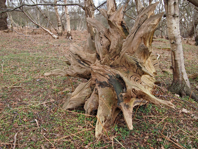 Gnarled upended tree root
