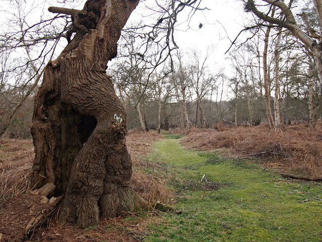 Gnarled Oak by path, Captain's Wood