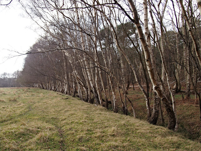 Silver Birch Trees along field drain, Captain's Wood