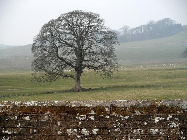 A fine old Oak