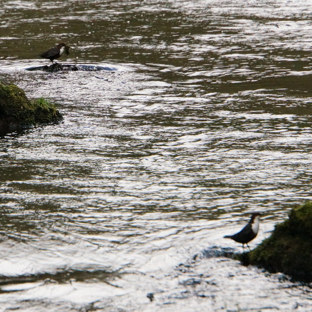 Pair of Dippers, Chee Dale