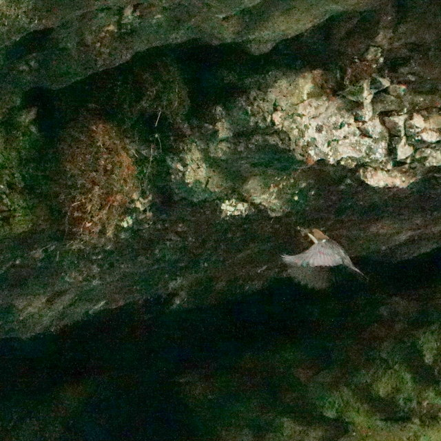 Dipper approaching nest, Chee Dale