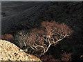 NY3612 : Contorted birch tree : Week 12