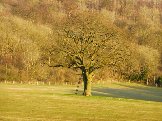 Tree in pasture, Stokenchurch