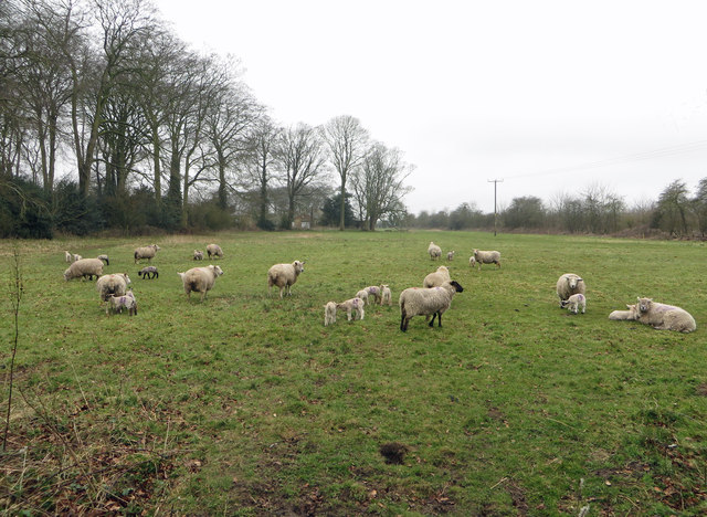 Field with Sheep