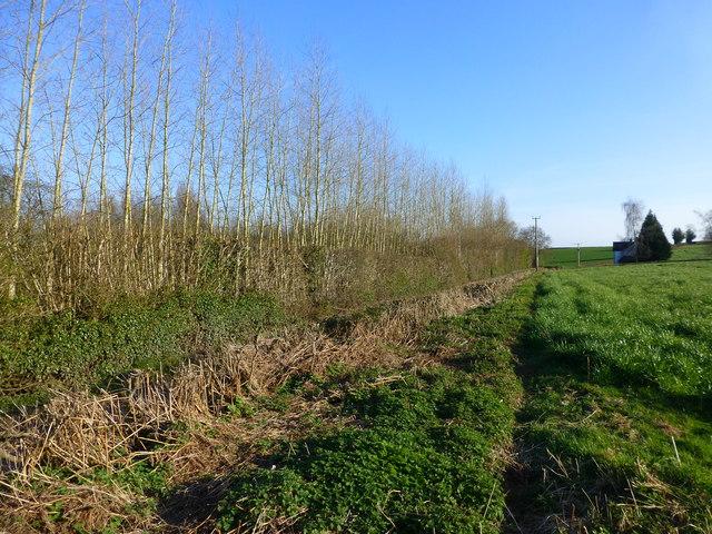 Field boundary of tall trees, south of Penrhos Farm