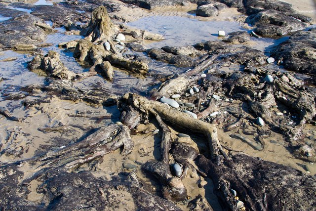Tangled roots on the sunken forest, Borth