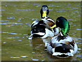 H4772 : Ducks, Cranny : Week 15