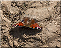 TL1511 : Peacock Butterfly, Heartwood Forest, Sandridge, Hertfordshire : Week 15