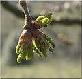 TQ2897 : Buds on Oak Tree, Trent Park, Cockfosters, Hertfordshire by Christine Matthews