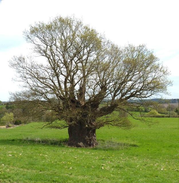 The Publow Oak