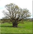 ST6264 : The Publow Oak by Rick Crowley