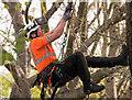 TQ2983 : Modern tree climbing methods! : Week 15