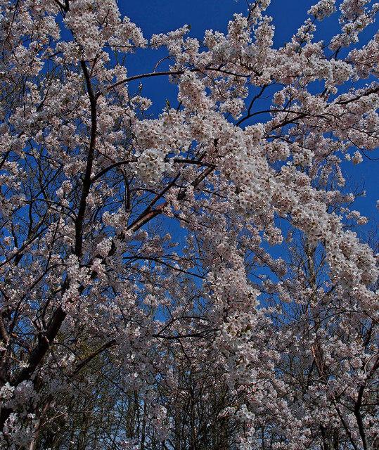 Cherry Blossom, Kilbirnie Loch