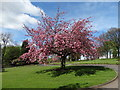 SE3805 : Cherry tree at Barnsley Crematorium by Neil Theasby