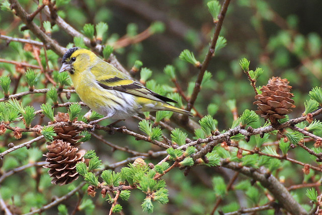 Siskin feeding in natural habitat