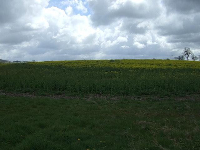 Oilseed rape crop near Hazelrigg Mill