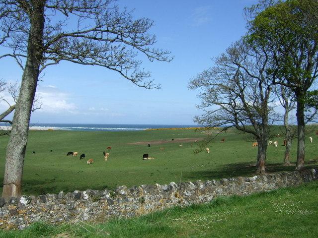 Coastal grazing, Budle