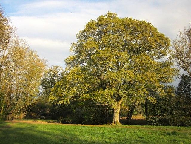 Oak tree by the Bovey