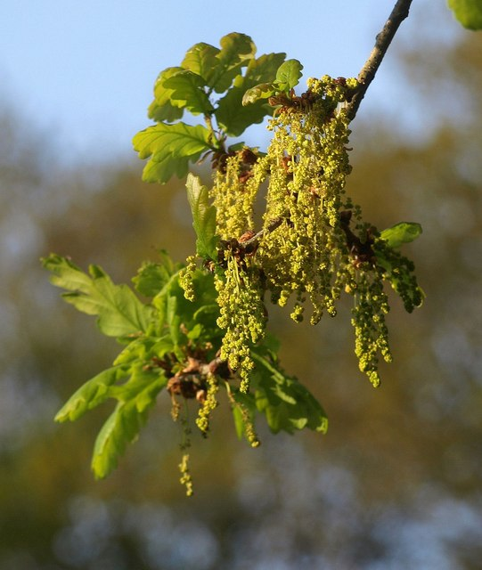 Oak flowers by the Bovey