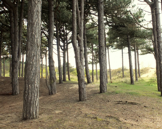 Pine stand near Lifeboat Road, Formby
