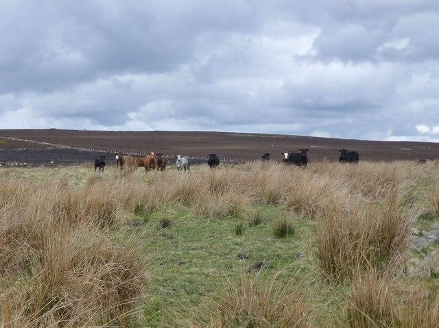 Cattle near the sheepfold