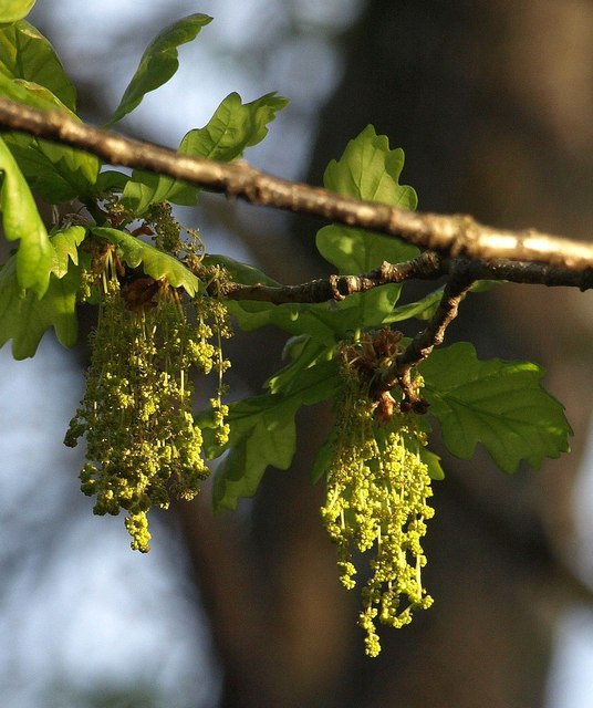 Oak catkins by the Bovey