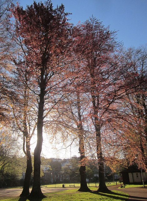 Copper beeches, Upton Park