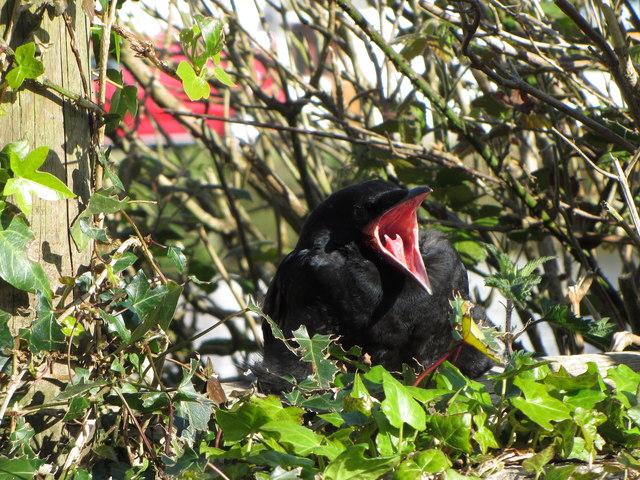 Yawning crow in Pentewan